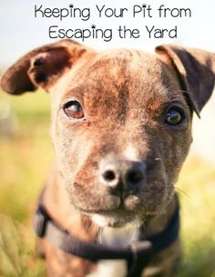 Pitbull Puppy Training Tips: Keeping Them in the Yard