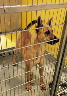 URGENT! Aurora * Dog • German Shepherd Dog Mix • Adult • Female • Large City of Friendswood Animal Control Friendswood, TX
