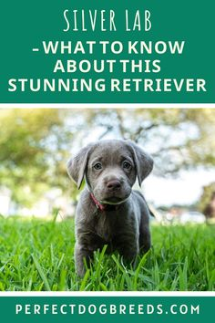 Have you seen a Silver Lab Retriever? If not then you must! Perfect Dog Breeds has a guide that will tell you everything about this unusual and beautiful pooch! It has all the usual loving and endearing traits of a Labrador. If you are lucky enough to find this rarity then find out everything about this puppy. We cover its personality and temperament. Find out its dietary needs, how to train them and where you can find one. Read more… #silverlabretriever #silverlabrador… Silver Labrador Retriever, Dogs Golden Retriever, Large Dog Breeds, Large Dogs, Most Popular Dog Breeds, Silver Labs, Mixed Breed, Dog Care, Labrador Dogs