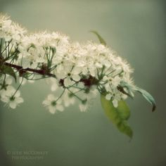 blossoms green new growth botanical fine art by #judeMcConkeyPhotos #sunny16