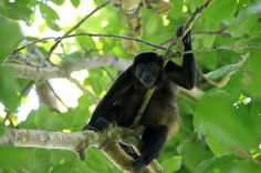 cahuita national park attraction page howler   - Costa Rica