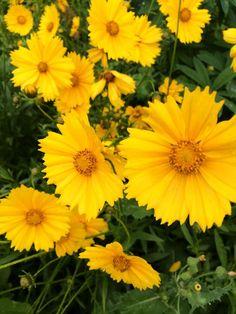 Coreopsis wildflowers #vanbloem