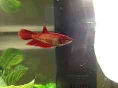 Red female veil tail betta fish