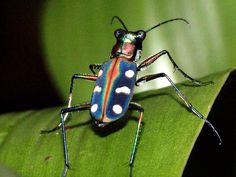 Tiger Beetle from Hong Kong, Cicindellidae.