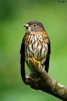 The Hodgson's Hawk-Cuckoo, Cuculus fugax is a species of cuckoo found in south, east and southeast Asia. Hodgson's Hawk-Cuckoo is a brood parasite. The chick evicts bona fide residents of the parasitized nest, thus becoming the sole occupant.