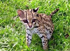 Baby ocelot = kitten.