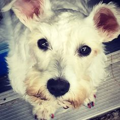 Selfie #rescueschnauzerrosie #rescueschnauzer #rescuepup #rescuedog #minischnauzer #shelterpup #shelterdog #dogselfie
