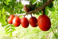 Ciriguela (Spondias purpurea L., Anacardiaceae) Origem: América do Sul e América Central