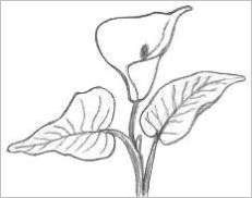 Drawing Of A Lily