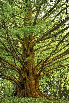 Metasequoia (dawn redwood)-one of my fafourite trees. Dawn Redwoods remind me of numerous hands stretched in vehement prayer asking for impossible.