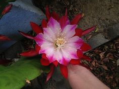 Epiphyllum - Clown
