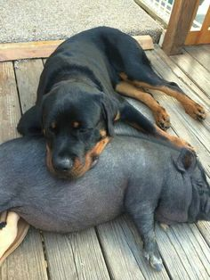 ~ This dog's sleep number is pig ~