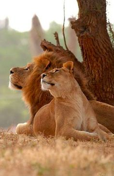 Lion and lioness. #animals #lions