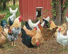 A083293480:Hen Pecked-Chickens; Brandt
