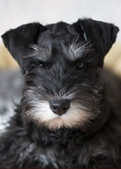 Health Problems in Miniature Schnauzer Click the picture to read