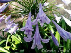 El Lirio africano y sus flores, Agapanthus africanus