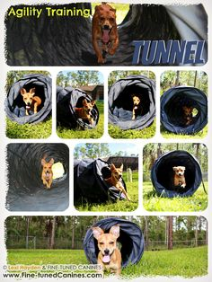 Agility fun (here tunnel) with Maddie, the mixed breed female dog at Naples, FL Board and Train dog trainingcamp! - FINE-TUNED CANINES - Florida dog training  Join us on FB! http://www.facebook.com/FinetunedCanines/