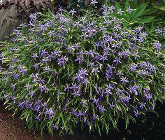 Laurentia axillaris 'Blue Stars'