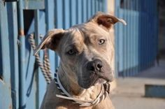 TO BE DESTROYED - 03/21/15 Staten Island Center  My name is RICARDO. My Animal ID # is A0920355. I am a neutered male gray pit bull mix. The shelter thinks I am about 5 YEARS old. For more information on adopting from the NYC AC&C, or to  find a rescue to assist, please read the following: http://urgentpetsondeathrow.org/must-read/