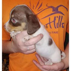 Dachshund Fairmont, I've One solid Isabella and tan girl as well as an Isabella dapple piebald girl, plus a chocolate piebald girl. Puppies Near Me, Dachshund Puppies For Sale, Mini Dachshund, Cute Puppies, Dachshund Quotes, Cat Quotes, Animal Quotes, Piebald Dachshund, Dog Breed Info