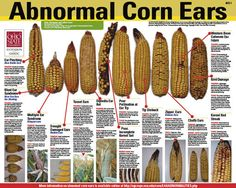 Abnormal Corn Ears - Wisconsin Corn Agronomy