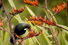 Tui and flax
