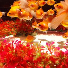 【510neee】さんのInstagramをピンしています。 《❁ *2015.11.3 . . □京都市中京区二条通堀川西入ル二条城町 . . #ファインダー越しの私の世界  #写真好きな人と繋がりたい  #写真撮ってる人と繋がりたい #京都 #二条城 #琳派400年記念祭  #世界文化遺産 #アートアクアリウム城 #京都#金魚の舞 #2015年 #幻想的 #金魚 #アクアリウム #Japan #Japan_art_photography #lovers_nippon #team_jp #team_jp_西 #ptk_Japan #tokyocameraclub #whim_life #bestJapanpics #ig_Japan #Instagood #beautiful #lovephoto #wp_Japan #wu_Japan #japan_night_view #kyoto》