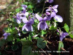 Violet (Sweet Violet, Dog Violet) - Plant Categories - The Tortoise table Tortoise Food, Tortoise Table, Violet Plant, Sweet Violets, Dog, Plants, Turtle Table, Diy Dog, Doggies
