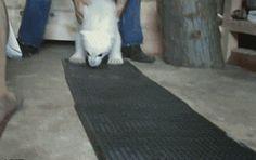 A Baby Polar Bear learns to walk...