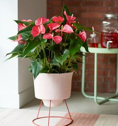 Anthurium, the flower with a natural shine ©Anthura #anthurium #Maine #pink