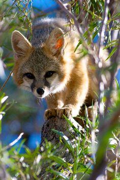 Grey Fox by john3photos - John McClure