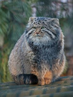 "thirstypets: ""Pallas cat: A cuddly pile of floof via /r/aww """