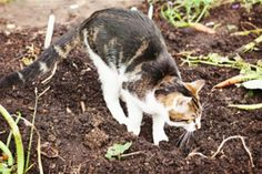 Comment créer un répulsif naturel et non dangereux pour les chats - Permaculture, Anti Chat, Garden Online, Potager Garden, Diy Fire Pit, Outdoor Fire, Zinnias, Horticulture, Vegetable Garden