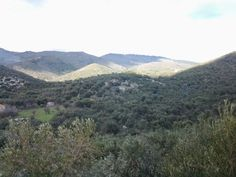 of olive trees Olive Tree, Greece, Mountains, Nature, Travel, Greece Country, Naturaleza, Viajes, Destinations