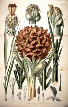 wapiti3:  Rumphia or, Perspectives botanical | especially the plants of India on Flickr.  Via Flickr: By Flower, Karl Ludwig, 1796-1862 Arckenhausen.  Henry, Aime, 1801-1875  Henry, Aimei?, 1801-1875  Payen. Sulpke, CG ,de  Publication info Lugduni Batavorum [Leiden, the Netherlands] :[s.n.],1835-48 Contributing Library: Missouri Botanical G