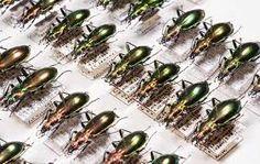 Coleoptera - Google Search