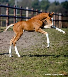 Gorgeous Dutch Warmblood filly with lots of chrome. Baby Horses, Cute Horses, Pretty Horses, Horse Love, Beautiful Horses, Cute Baby Animals, Funny Animals, Hunter Horse, Horse Markings