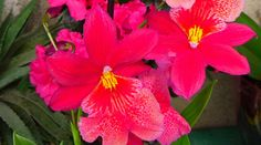 Burrageara Nelly Isler Orchidaceae, House Plants, Garden, Nature, Flowers, Pink, Pictures, Collection, Rare Plants