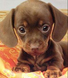22 Miniatur-Dackel Hunde und Welpen 22 Miniature Dachshund Dogs and Puppies – Cute Baby Animals, Animals And Pets, Funny Animals, Funny Dogs, Funny Bulldog, Cute Animals Puppies, Funniest Animals, Farm Animals, Big Eyed Animals