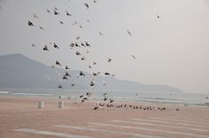 Pigeons on Da Nang beach  VietNamNet Bridge – Coming to Pham Van Dong beach in Da Nang, the largest city in central Vietnam, visitors will have a chance to admire large flocks of pigeons over the blue sky.   Vietnam Tour Expert Help: www.24htour.com Halong Bay Cruises Tour  Expert Help: www.halongcruises.com.au  #24htour  #vietnamtravelnews #vietnamnews #traveltovietnam #vietnamtravel #vietnamtour�