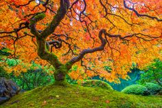 Japanese Maple during displays beautiful fall color leaves. Oregon.