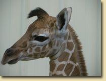 Giraffe. Giraffe? Giraffe!