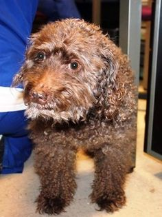 Max: senior beauty needs a rescue to get him out of upstate shelter RESCUED Animal Adoption, Animal Rescue, Pet Adoption, Pet News, 14 Year Old, Animal Rights, Claws, Poodle, Dog Love