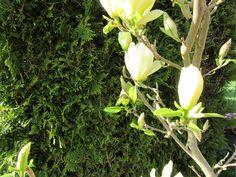 Magnolia Gelb