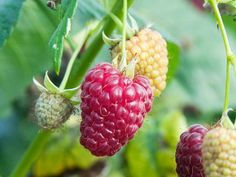 Art Go Forth and Be Fruitful: Advice for Growing Raspberries diy-gardening Fruit Garden, Edible Garden, Vegetable Garden, Garden Plants, Raspberry Plants, Blackberry Plants, Growing Raspberries, Strawberries, Hardscape Design