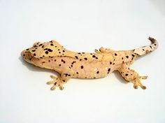 The world's best hope for a genetic oddity in the crested gecko world. Description from pinterest.com. I searched for this on bing.com/images