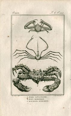 1802  Antique Print Crabs  Latreille Buffon by CarambasVintage