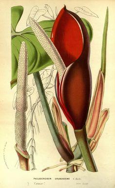 v.14 (1861) - Flore des serres et des jardins de l'Europe - Biodiversity Heritage Library philodendron erubescens