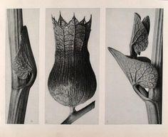 "Karl Blossfeldt (German, 1865 - 1932). ""Aristolochia Clematitis (Birthwort) (A.) Hyoscyamus Niger (Stinking Nightshade) (B). Aristolochia Clematitis (Birthwort) (C)"". Original vintage photogravure. c1900-1928. Printed 1929."