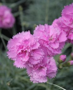 Hybrid Pink 'Whatfield Can Can' (Dianthus x hybrida)